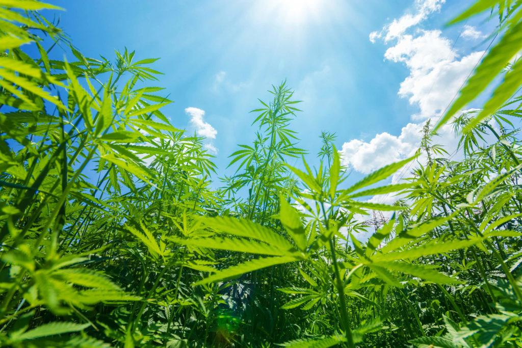 Een veld van cannabisplanten tegen een blauwe hemel