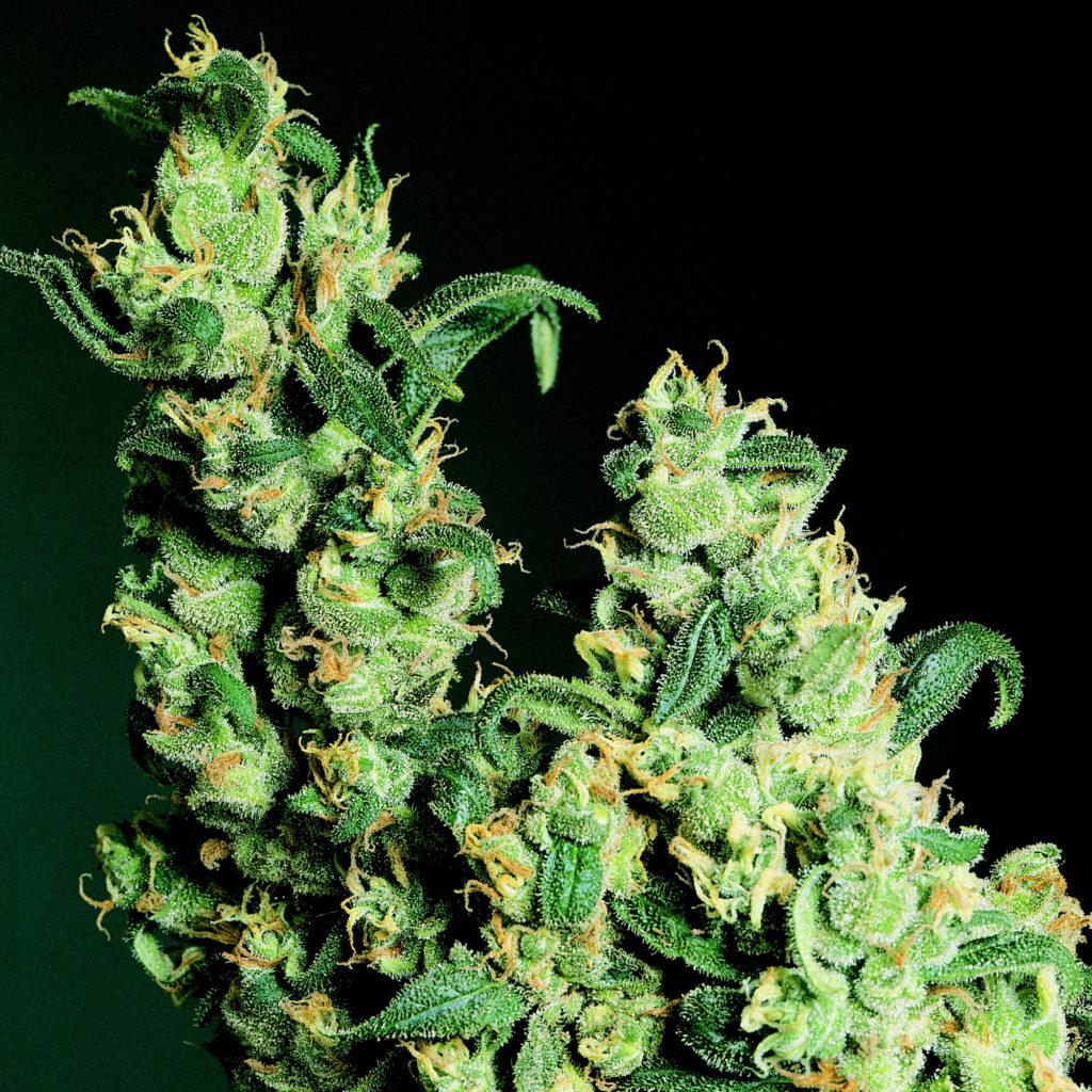 Een feno-een cannabisplant