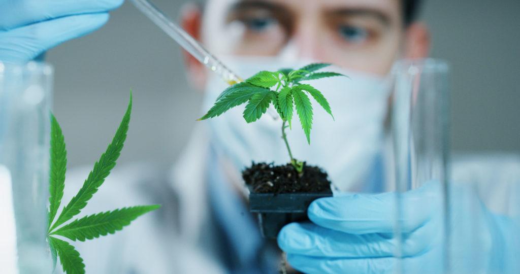 Un hombre con guantes y máscara que examina la planta de cannabis.