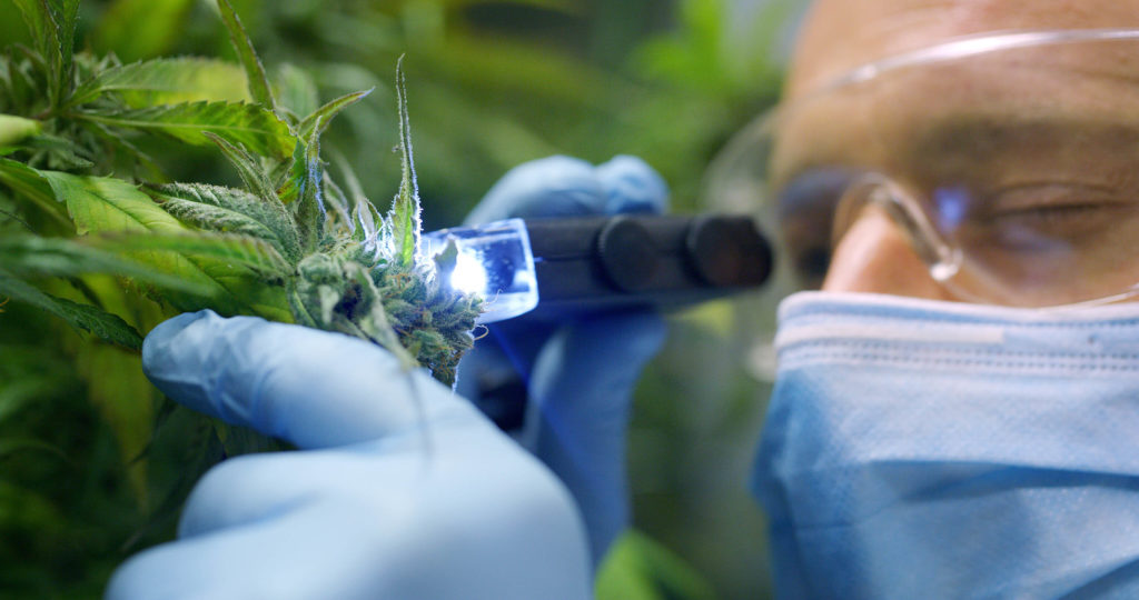 A man wearing goggles, gloves, and a mask examining a cannabis plant with a light