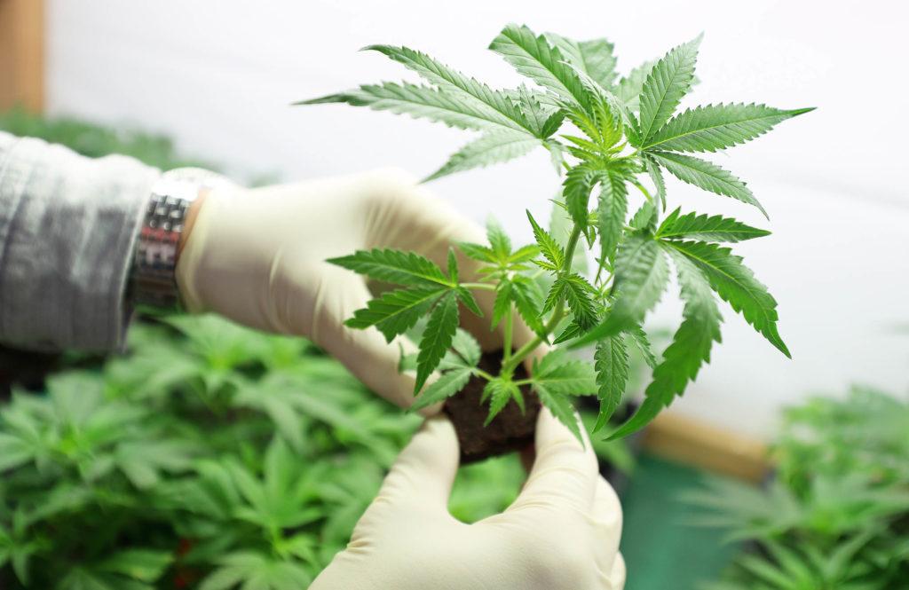 Una persona que lleva guantes blancos sosteniendo una pequeña planta de cannabis.
