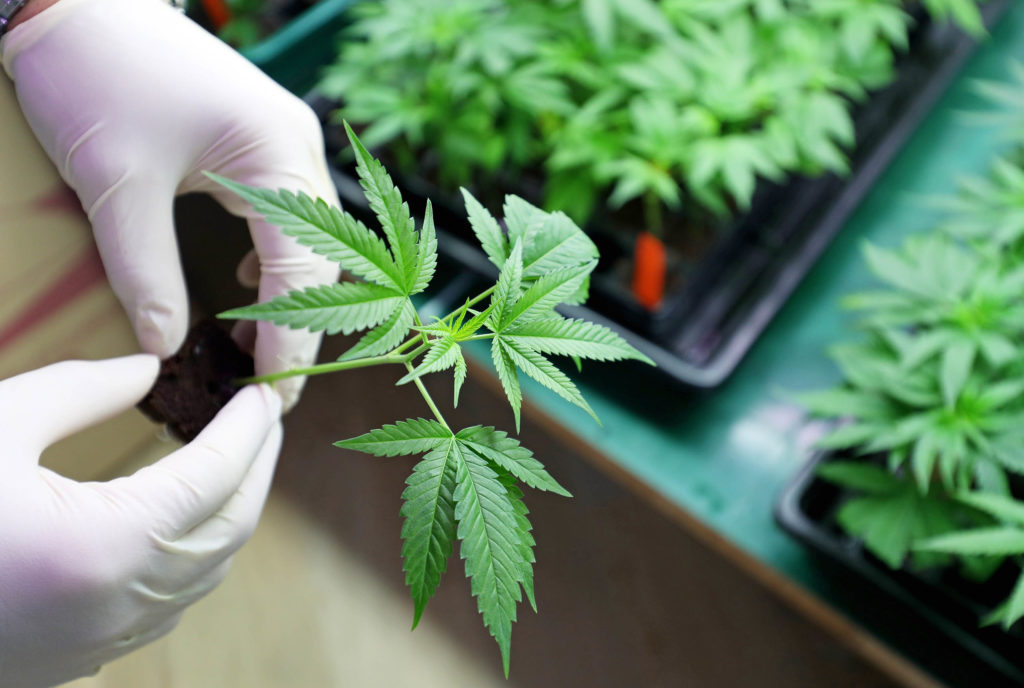 A person wearing white gloves picking up a small cannabis plant from a tray