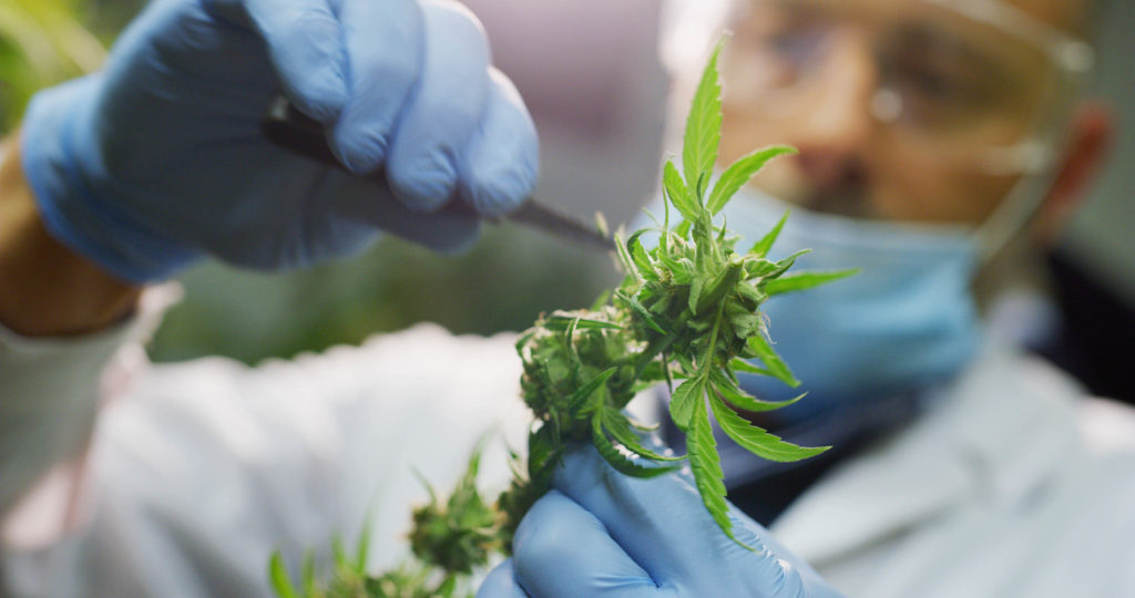 A person in medical gear inspecting a cannabis plant