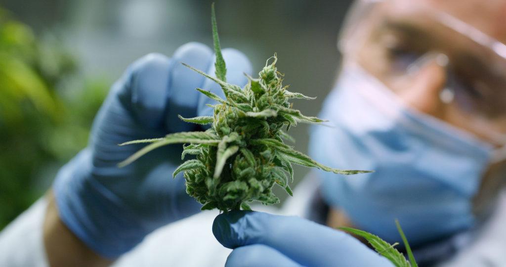 Een man met een bril, een medisch masker en handschoenen met een cannabisplant