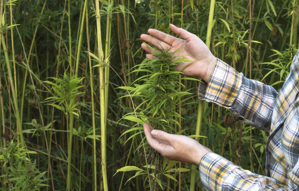 Eine Person in einem Flanellhemd, das eine Cannabis-Pflanze hält