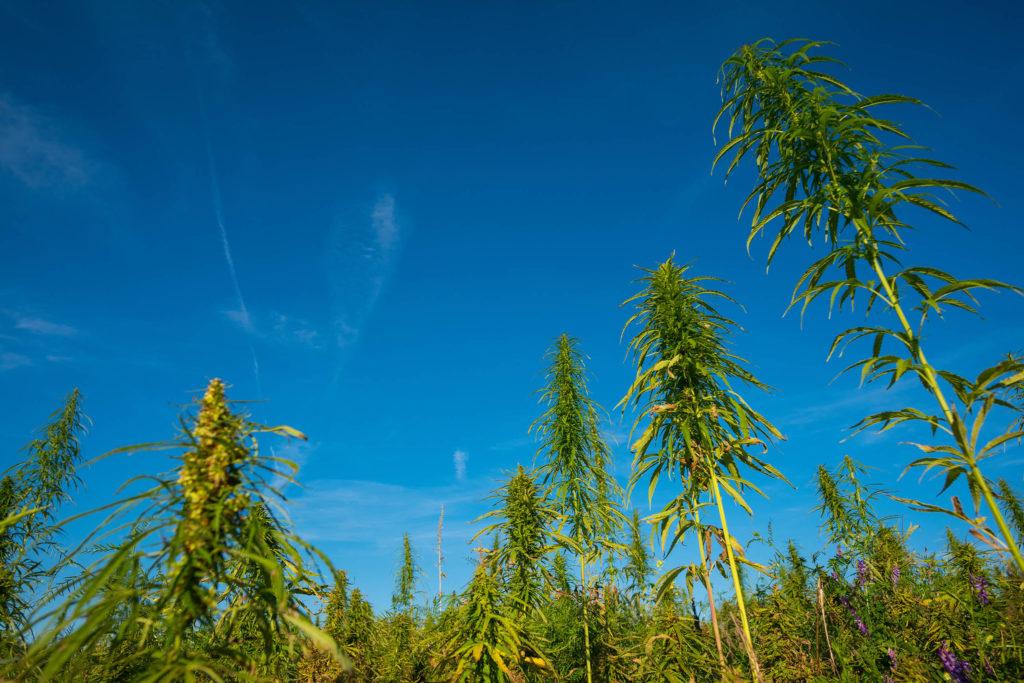 Un campo de plantas de cáñamo y un cielo azul.