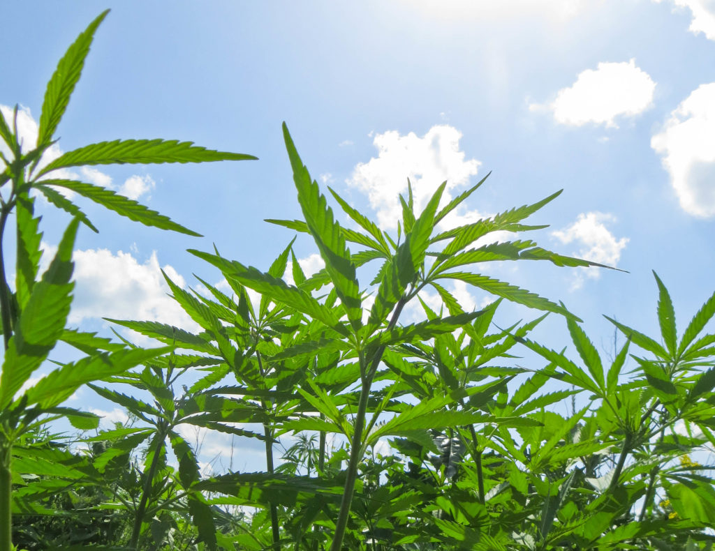 A field of hemp plants and a blue sky with clouds