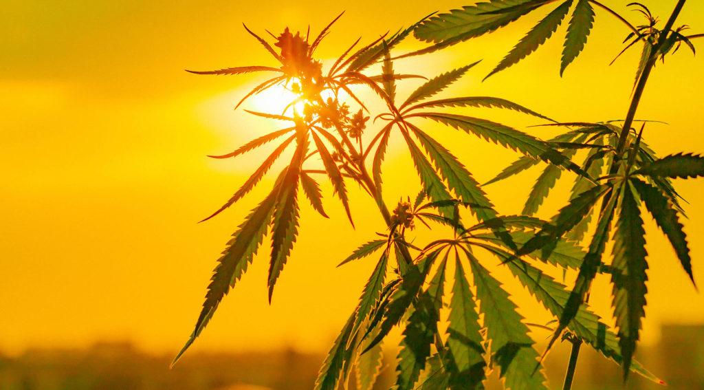 Una planta de cáñamo frente a una puesta de sol amarilla.