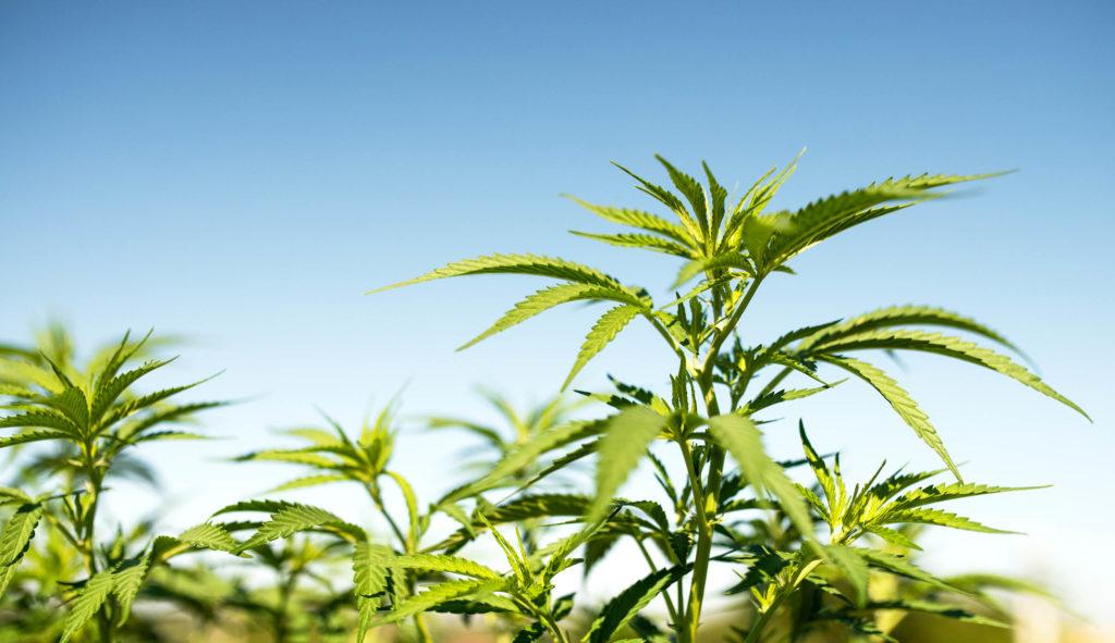 Hemp plants in front of a blue sky