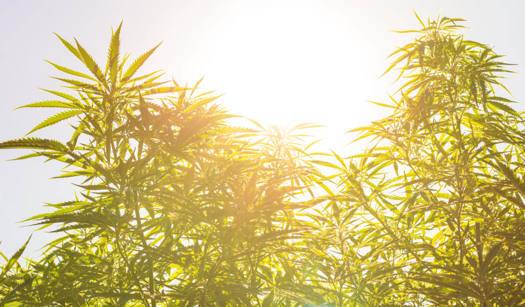 A field of hemp plants and a bright sunset