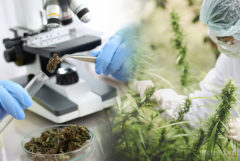 An employee in protective gear picking cannabis plants, a microscope, and a test tube