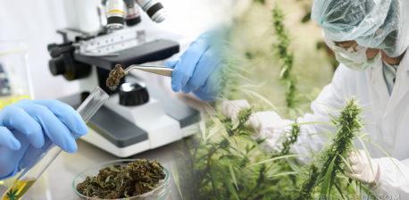 Un employé en équipement de protection cueillant des plantes de cannabis, un microscope et un tube à essai