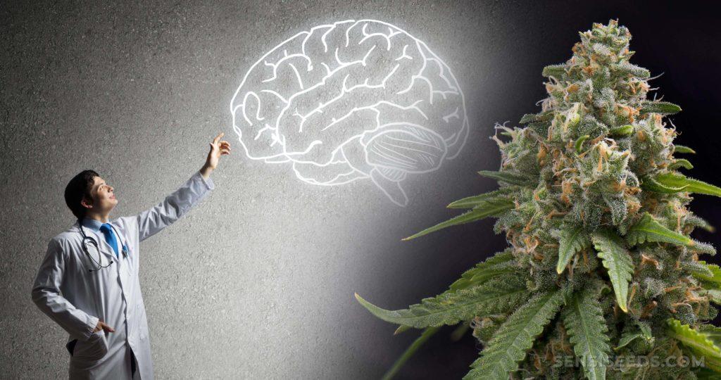 Un médecin pointant sur un dessin d'un cerveau et d'une plante de cannabis