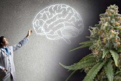 Een arts die wijst op een tekening van een hersenen en een cannabisplant
