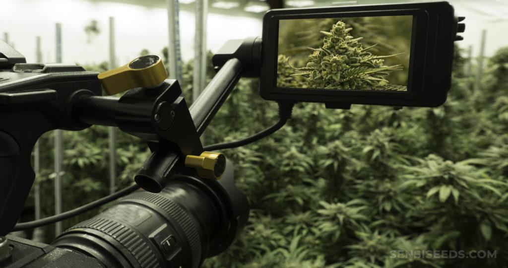Een grote camera die een scène filt vol met cannabisplanten