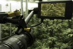 Une grosse caméra filmer une scène pleine de plantes de cannabis