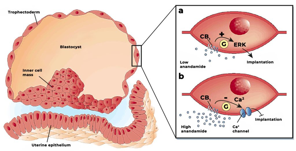 A diagram showing how anandamide activates CB1 receptors on the surface of embryonic cells