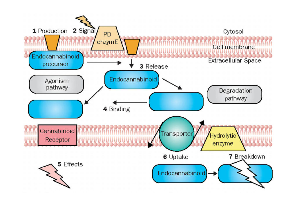 A diagram of how the body produces anandamide