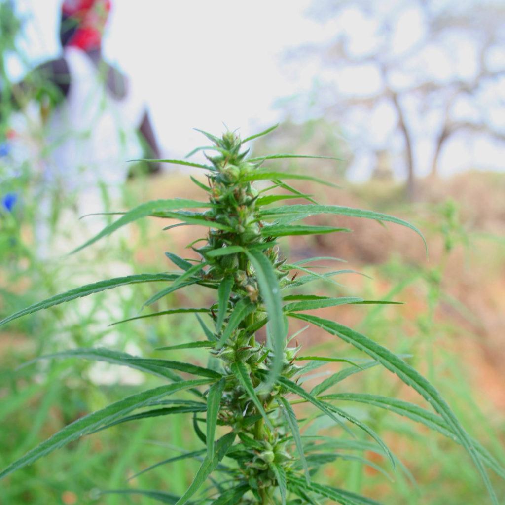 Une plante de cannabis poussant dans un champ
