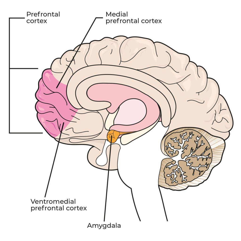 Een diagram dat verschillende delen van de hersenen heeft gelabeld