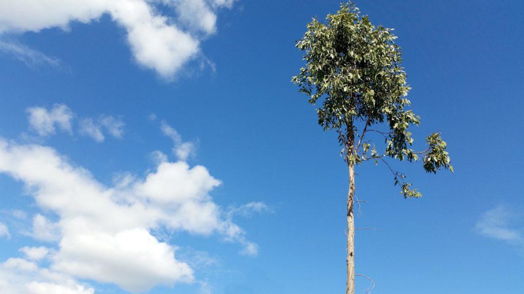 Una planta de bambú negro contra un cielo azul.