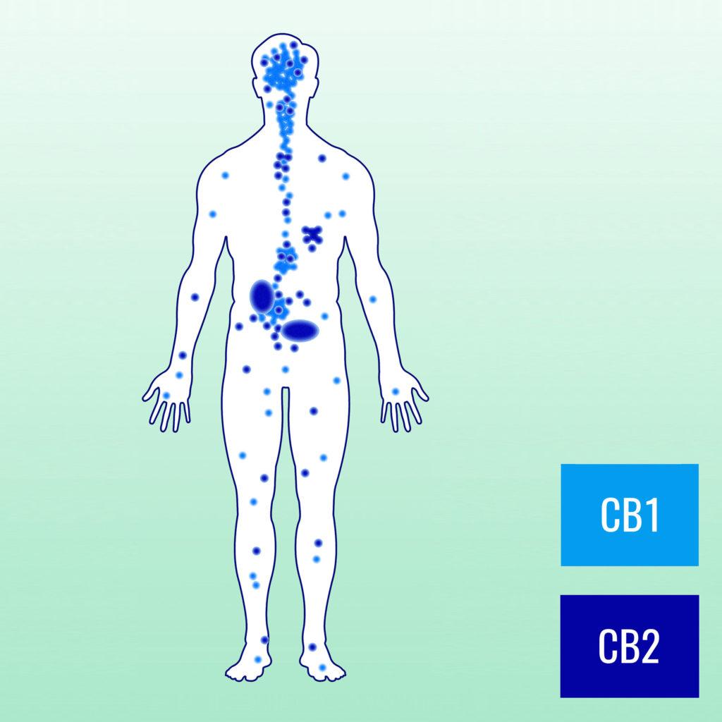 Ein menschlicher Körper mit verschiedenen Cannabinoidrezeptoren, die in leichten und dunkelblauen Punkten markiert sind