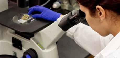 Eine Frau in weißem Mantel und Handschuhen, die Cannabis unter dem Mikroskop untersuchen