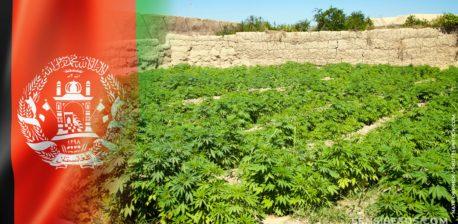 Die afghanische Flagge und ein Feld von Cannabis-Pflanzen