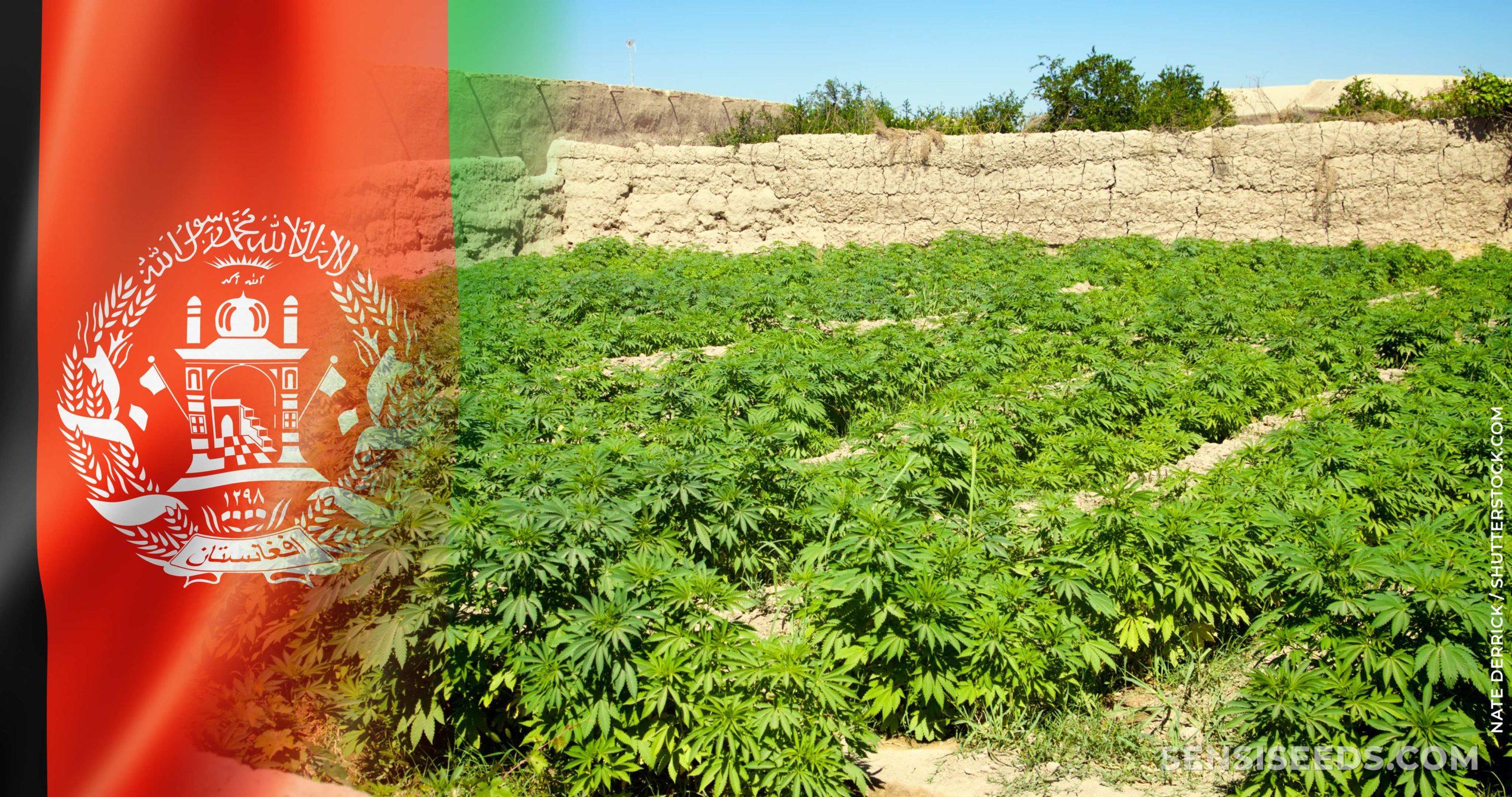 Le drapeau afghan et un champ de plantes de cannabis
