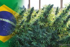 La bandera brasileña y un campo de las plantas de cannabis.