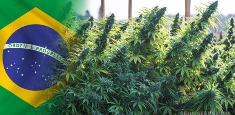 Die brasilianische Flagge und ein Feld von Cannabis-Pflanzen
