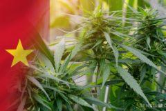 La bandera del Camerún y las plantas de cannabis.