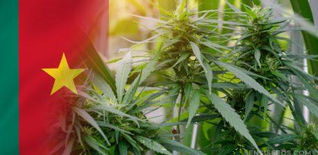 Die Kamerun-Flagge und Cannabis-Pflanzen