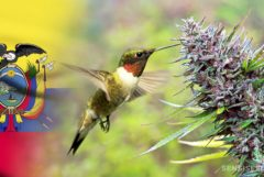 The Ecuadorian flag, a cannabis plant and a bird drinking out of its leaves