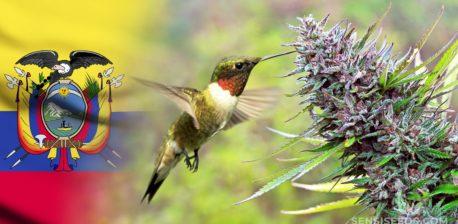 Die ecuadorianische Flagge, eine Cannabis-Pflanze und ein Vogel, der aus den Blättern trinkt