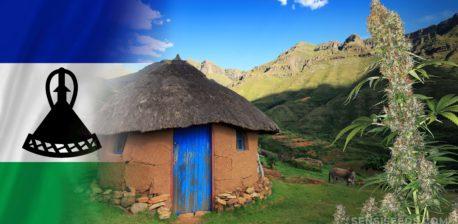 Die Lesotho-Flagge und ein Cannabis-Werk, das vor einer kleinen Schlammhütte wächst