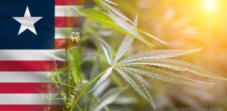 Die liberianische Flagge und ein Cannabis-Werk