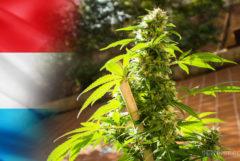 Die Luxemburger Flagge und ein Cannabis-Werk