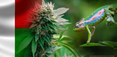 Die Madagascanische Flagge und eine Eidechse, die sich in Richtung einer Cannabis-Pflanze bewegt