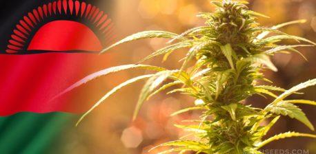 Die Malawi-Flagge und eine Cannabis-Pflanze