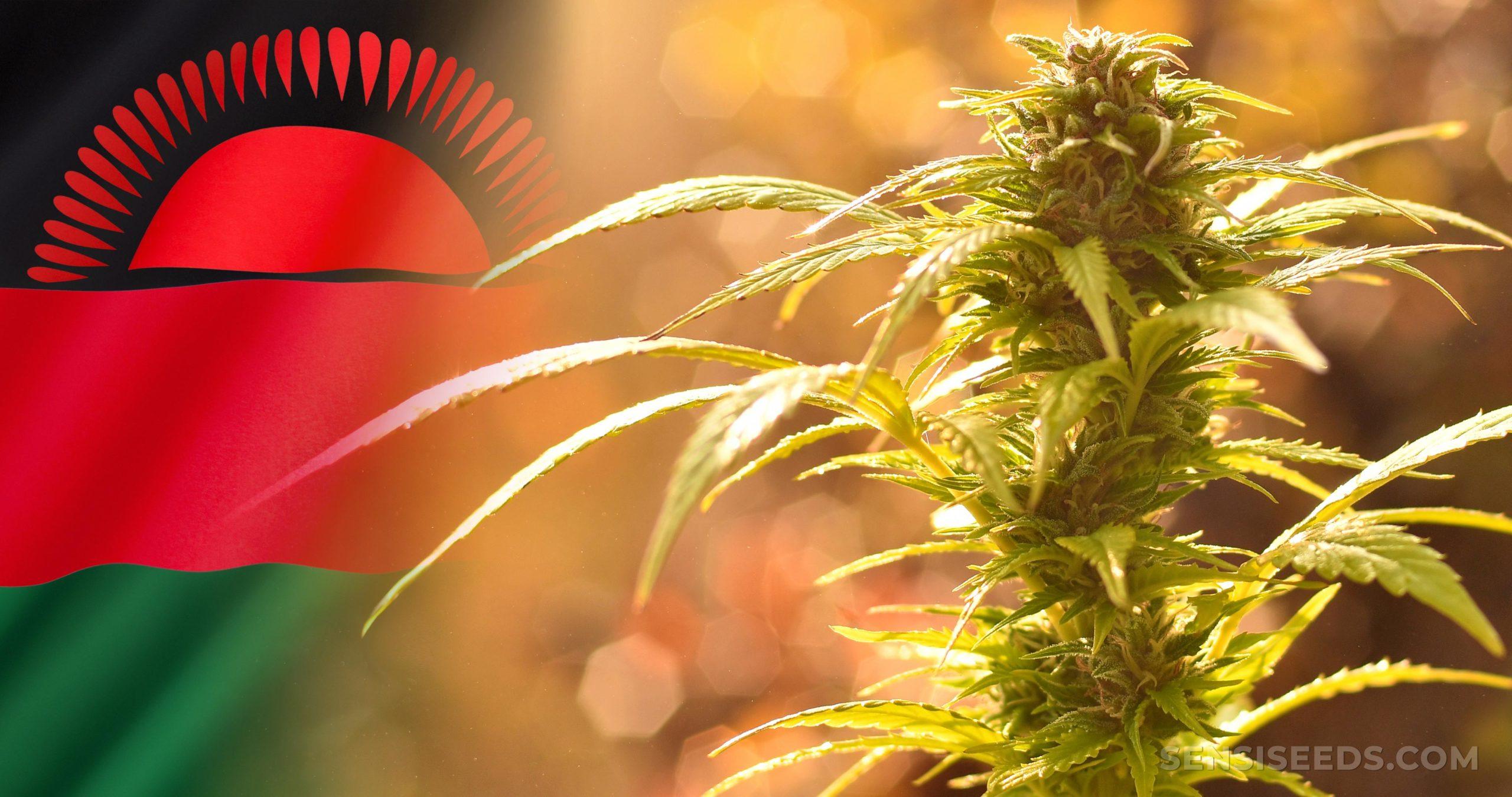 The Malawi flag and a cannabis plant
