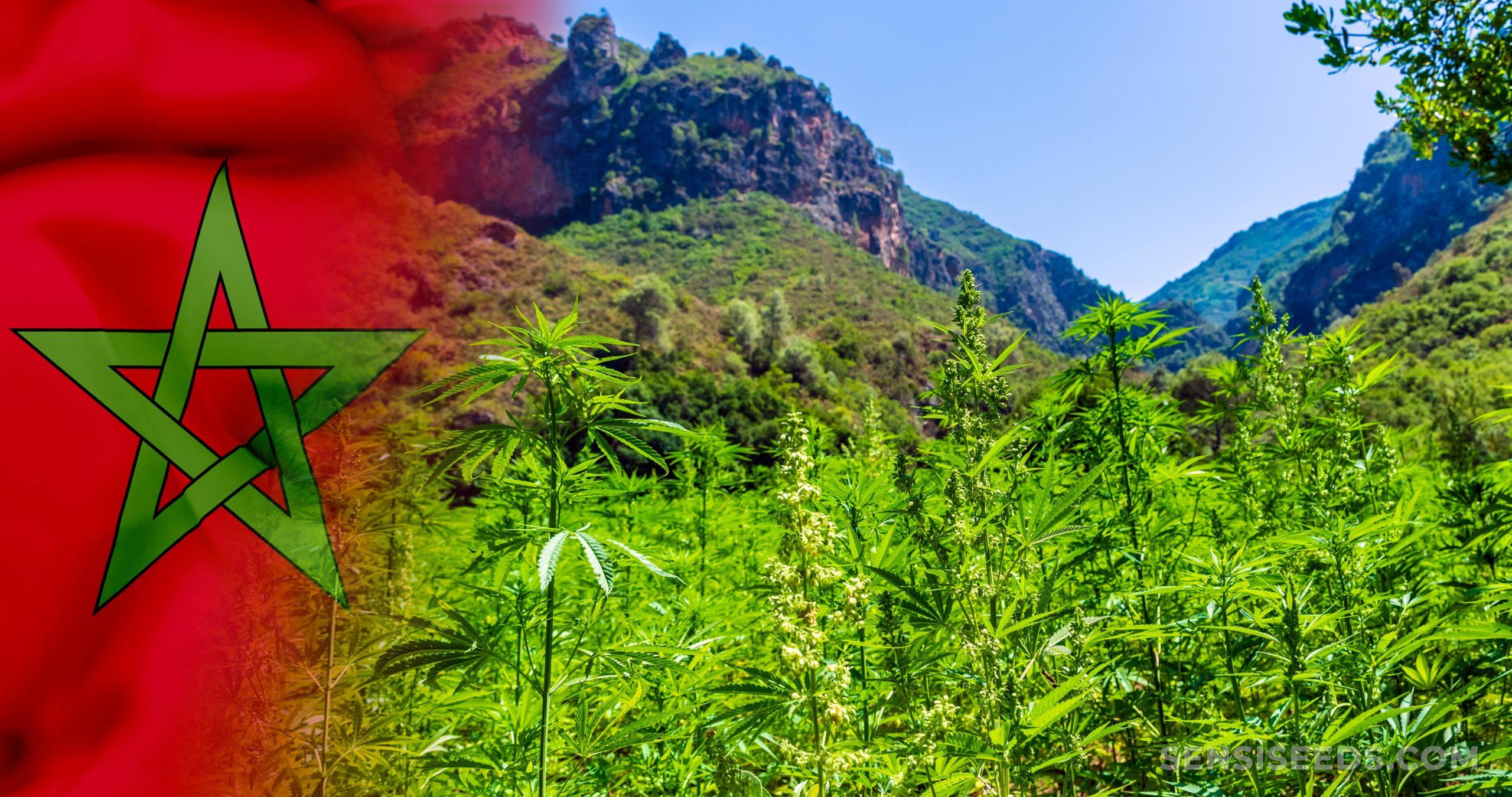 De Marokcon-vlag en een veld van cannabisplanten