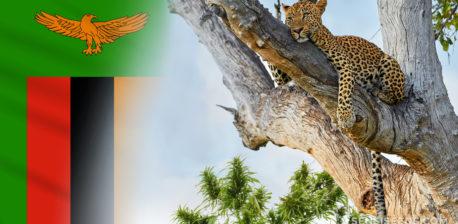 La bandera de Zambia y un leopardo descansando sobre un árbol.