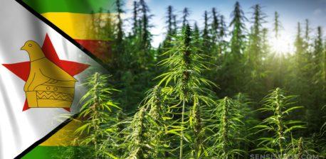 Die Simbabwe-Flagge und ein Hanffeld