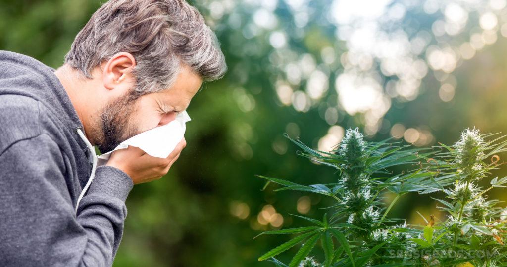 Ein Mann, der in ein Gewebe vor einer Cannabis-Pflanze schmückt