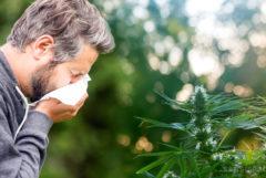 Un hombre estornudando en un tejido frente a una planta de cannabis.