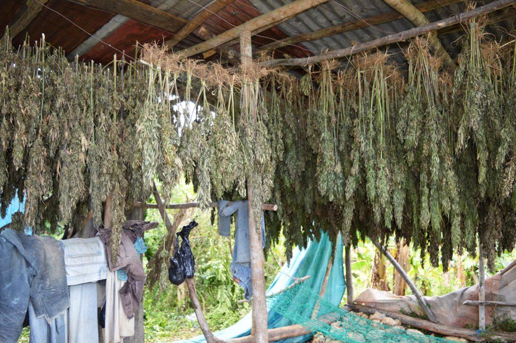 Cannabis planten hingen op om te drogen in een hut