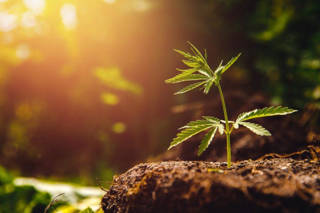 Eine Cannabis-Pflanze, die vom Boden ausgreift