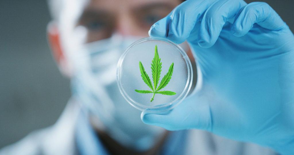 Ein Mann, der medizinische Gang trägt, der eine Petrischale mit einem Cannabisblatt innen hält