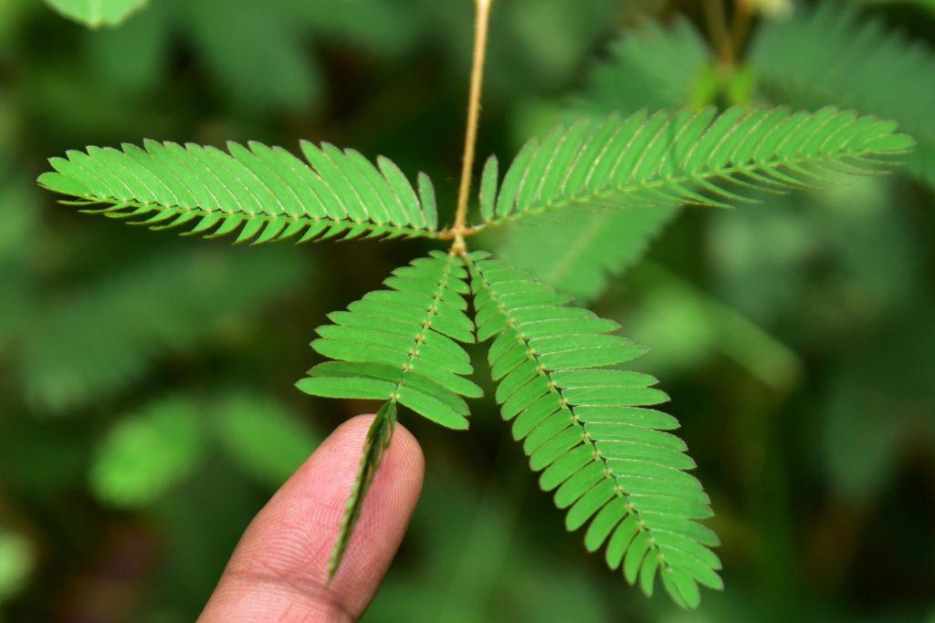 Eine Pflanze mit den Enden seiner Blätter gerollt